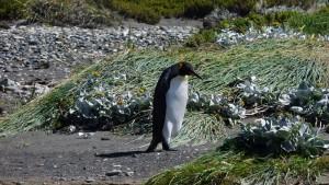 Pingüino Rey1